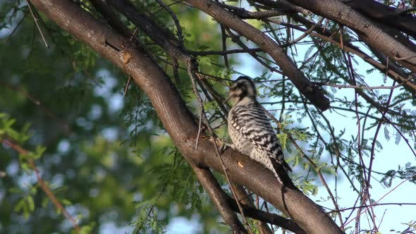 Thumbnail for Ladder-backed Woodpecker Lone Foraging Looking For Food Dry Season