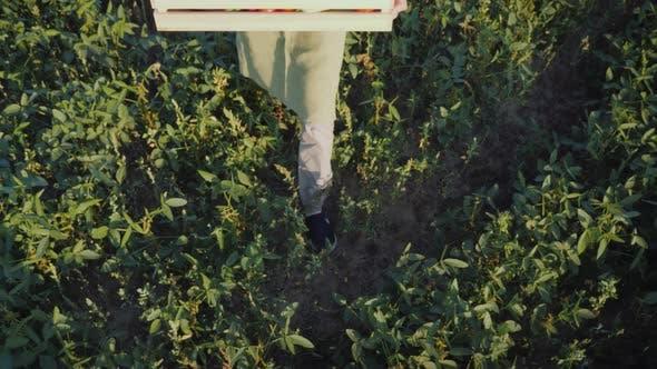 Thumbnail for The Farmer Brings a Box of Fresh Vegetables