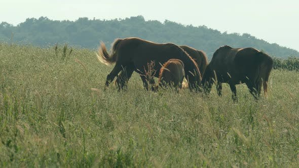 Thumbnail for Beautiful Horses Grazing On Sunset Light