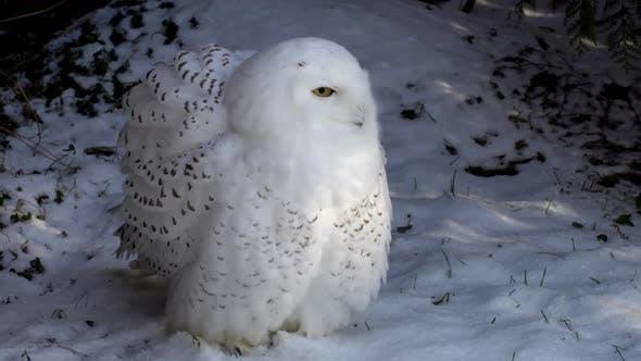 Thumbnail for Polar Owl