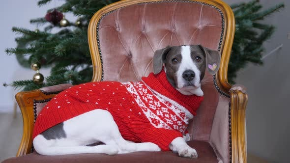 Cute Pedigree Dog in Warm Knitted Sweater in Classic Style Chair with Plastic Christmas Tree Behind