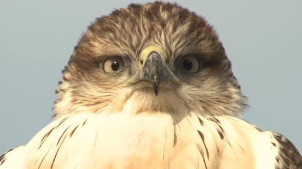 Swainsons Hawk Immature Lone Looking Around in Autumn Eyes Bill Beak Face