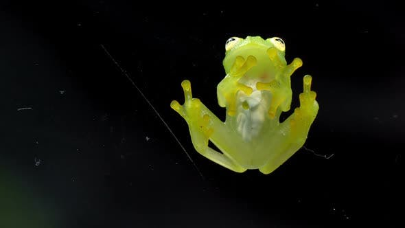 Thumbnail for Fleischmann's Glass Frog Body Anatomy Bottom View