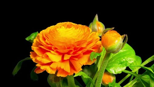 Closeup of a Ranunculus or Buttercup flower are blooming, time-lapse with alpha channel