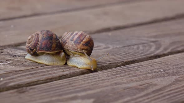 Thumbnail for Couple Garden Snails Mating Life Cycle of a Snail