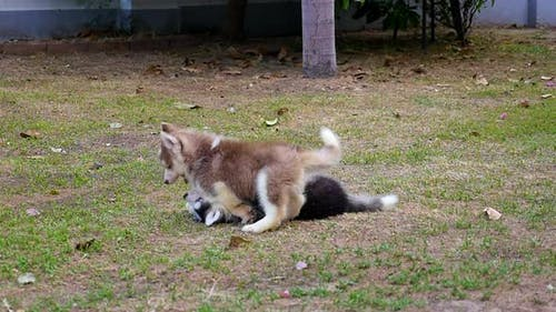 Cute Siberian Husky Puppies Playing In The Garden