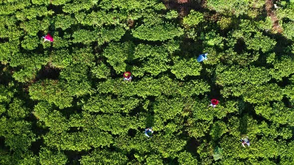 Thumbnail for Aerial View of Tea Plantations, Fields, Waterfall and People Picking Up Tea During Sunrise