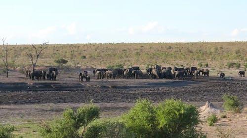A large herd of African Bush elephants