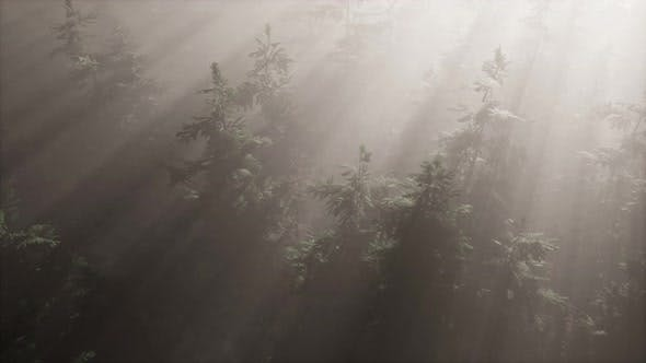 Thumbnail for Aerial Sunrays in Forest with Fog
