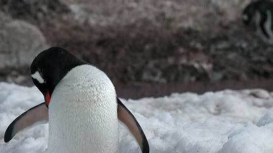 Gentoo penguin (Pygoscelis papua) on snow, Cuverville Island, Antarctica