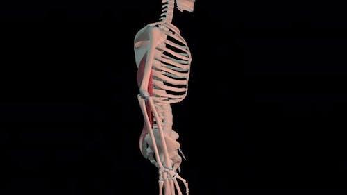 Latissimus Dorsi Muscles Full Rotation Loop