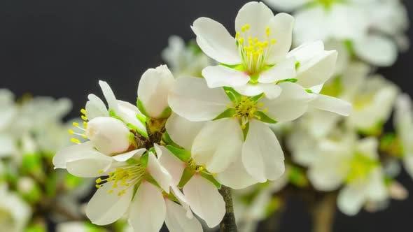 Thumbnail for Almond Flower Blossom 5