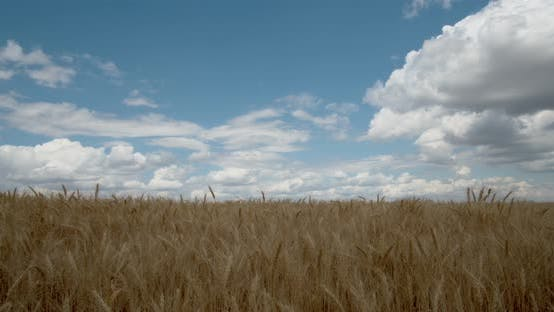 Thumbnail for Spikelets of Wheat Sway in The Wind