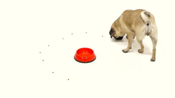 Thumbnail for Puppy Eats All the Food and Leaves the Toe Empty. White Background