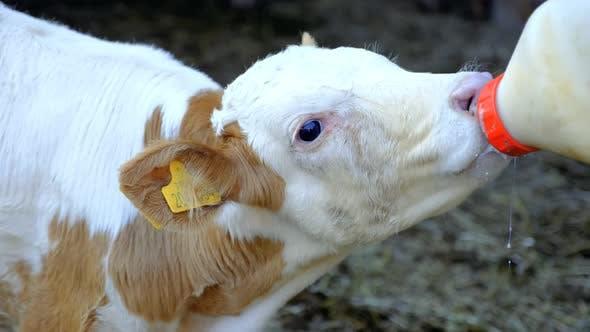 Thumbnail for Calf Drinking Milk