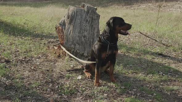 Thumbnail for Rottweiler in the Coniferous Forest on a Sunny Day