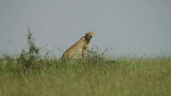 Thumbnail for Side view of a cheetah