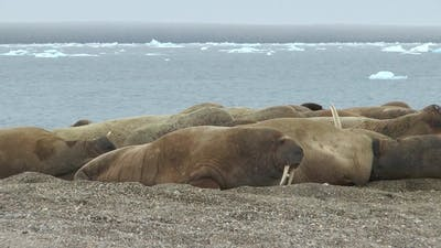 Arctica. Group of walruses in their natural environment.