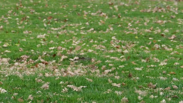 Thumbnail for Oak Leaves On The Meadow On A Windy Day 1