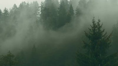 Pine Tree Forest with Mist and Fog in Transylvania, Romania