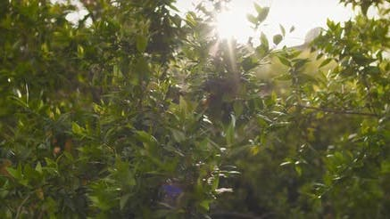 Thumbnail for Sun rays shine through leaves of green bushes, wind blowing, golden hour sunset