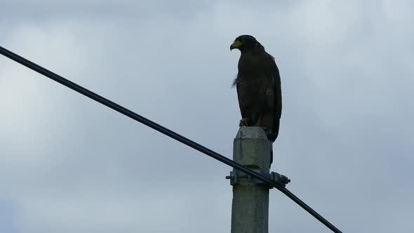 Cover Image for Eagle at a electricity pole