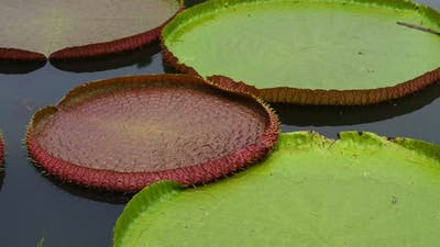 Victoria waterlily on the pool