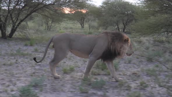 Thumbnail for Male lion walking in the bush
