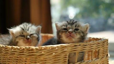 Sick Kittens Sitting In A Basket