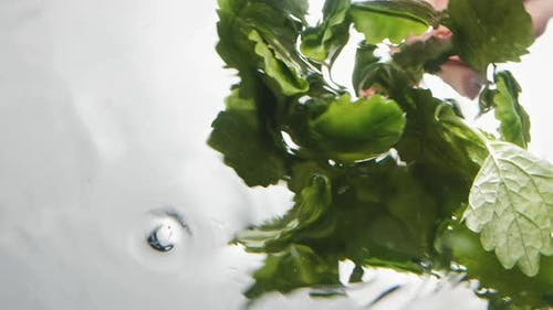 Person Washes Fresh Aromatic Mint in Clear Water on White