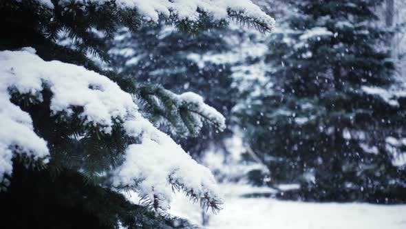 Thumbnail for Snow Falling At The Fir Trees Branches 32
