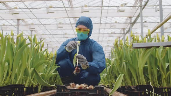 Thumbnail for Professional Scientist Putting Flowers into Box in Greenhouse