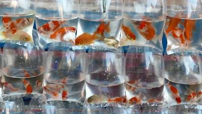 Goldfish in plastic bags