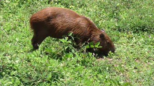 Capybara Adult Lone Eating Grazing in Brazil South America