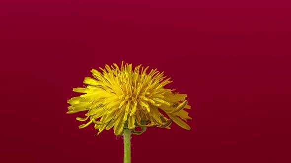 Thumbnail for Dandelion Blossom Timelapse on Red 3