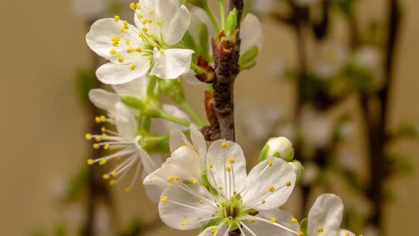 Thumbnail for Plum Flower Blossom on Yellow Time Lapse