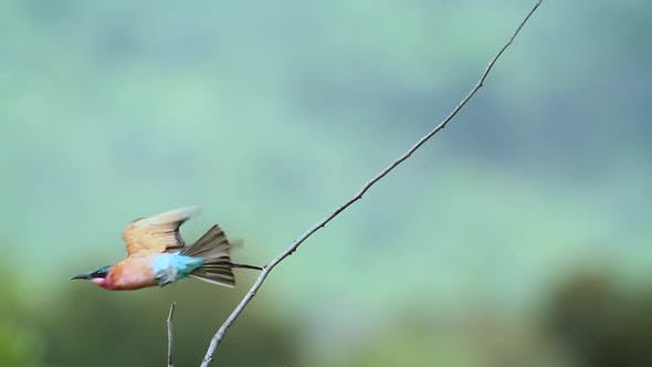 Southern Carmine Bee-eater in Mapungubwe National park, South Africa