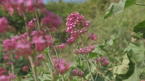 Red Valerian Flowers Blooming Field