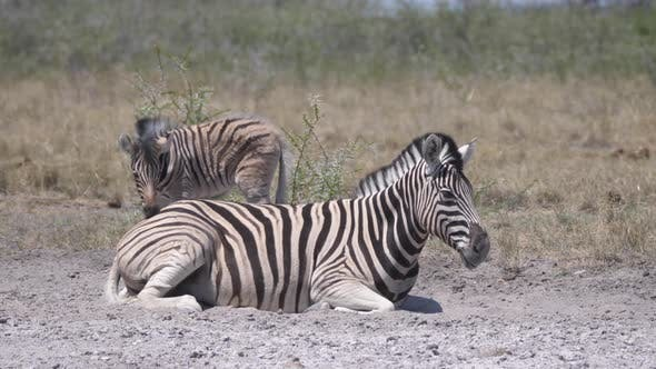 Cover Image for Mother and baby zebra on a dry savanna