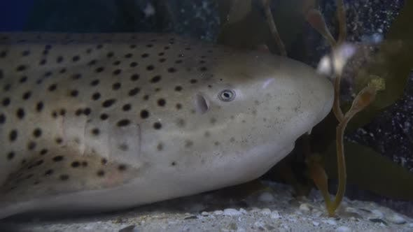 Thumbnail for Zebra Shark Lurked on The Sandy Bottom Near the Underwater Rock. Head of Spotted Shark Close-Up