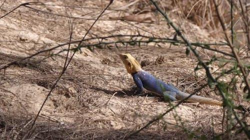 Agama lizard running away