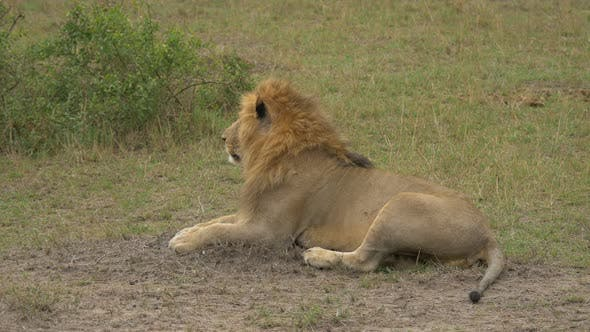 Thumbnail for Lion resting
