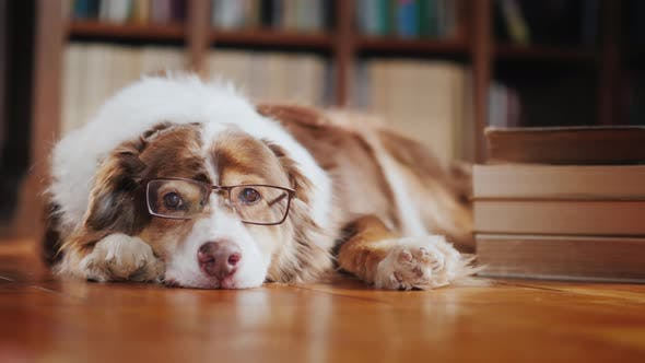 Thumbnail for A Dog in Glasses Is Dozing About a Pile of Books on the Floor in the Library
