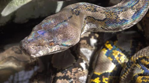 Reticulated Python Snake in South Asia