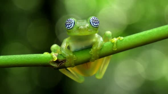 Thumbnail for Glass Frog in its Natural Habitat in the Caribbean Forest
