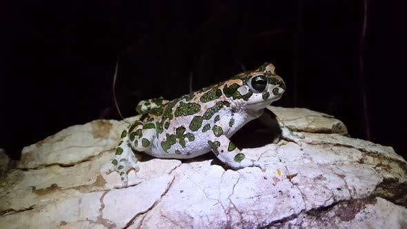 Cover Image for European green toad on a rock