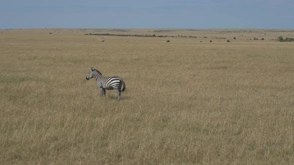 Zebra in the savanna