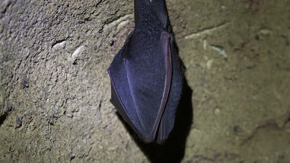Cover Image for Bat on the Cave Wall