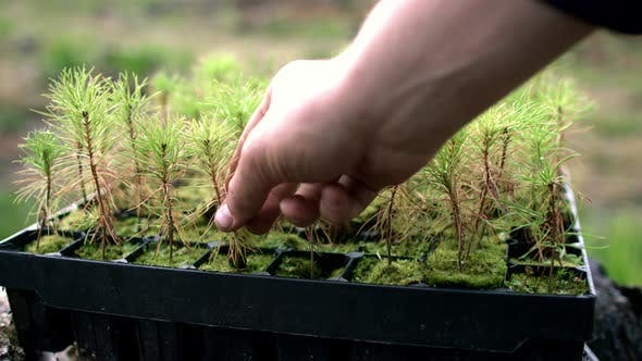 Thumbnail for Human Hand Taking Pine Seedlings Together with Soil and Roots From Plastic Pot