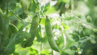 Green Peas Growing in the Garden